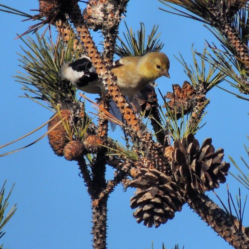 Chickadee und Dompfaff lizenzfreies stockfoto