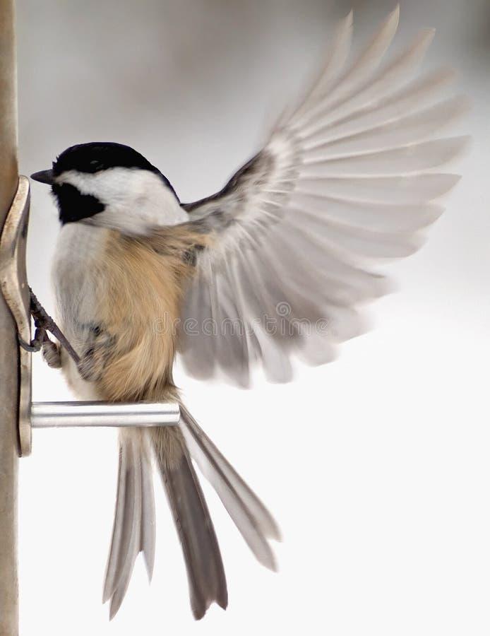 Chickadee with wings fluttering. Chickadee landing on bird feeder with wings fluttering