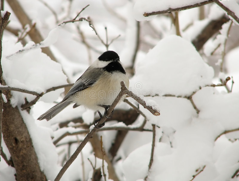 Chickadee in Winter - 2 stock image