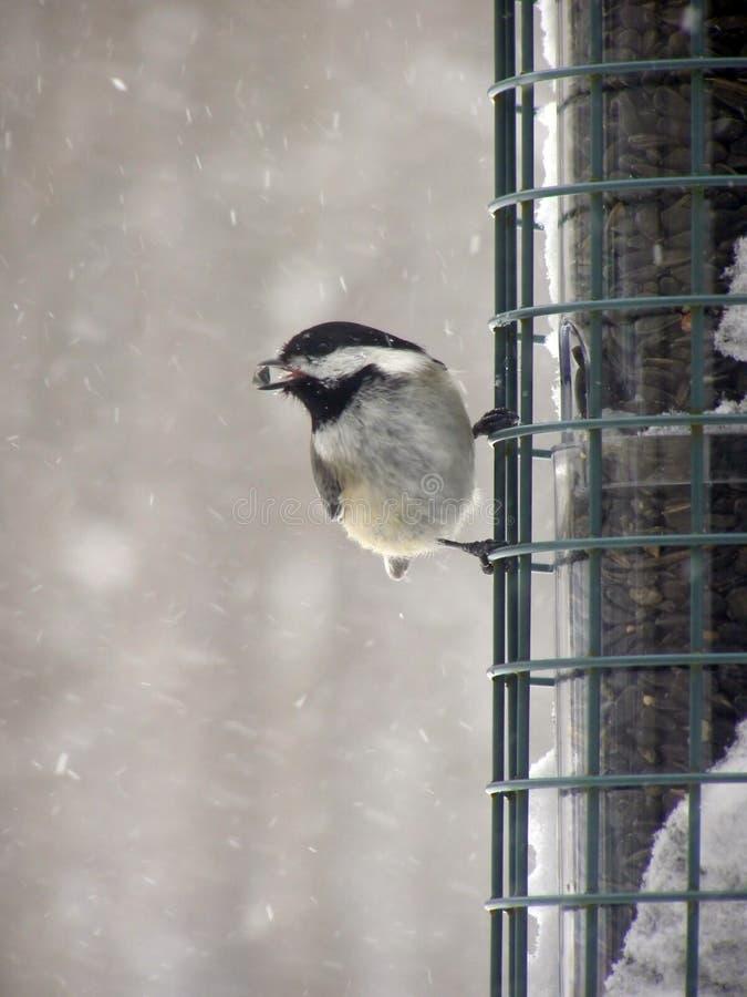 Download Chickadeen kärnar ur arkivfoto. Bild av fjädrar, grip, vinter - 509368