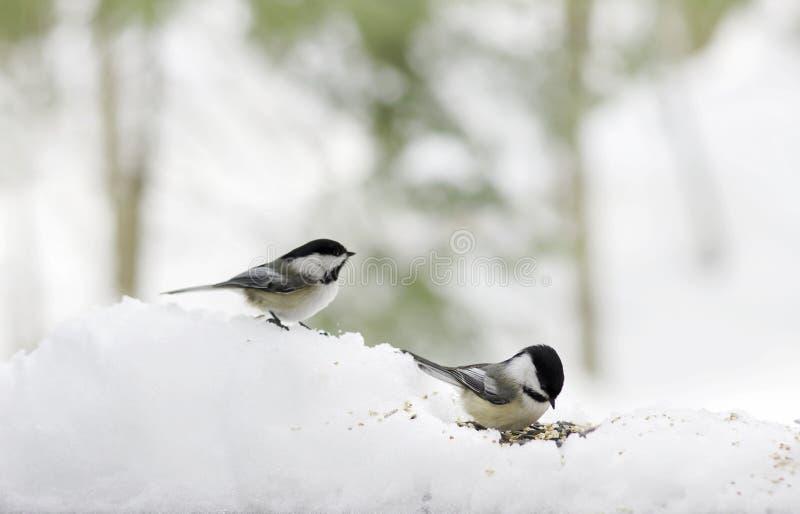 Chickadees na neve imagem de stock royalty free