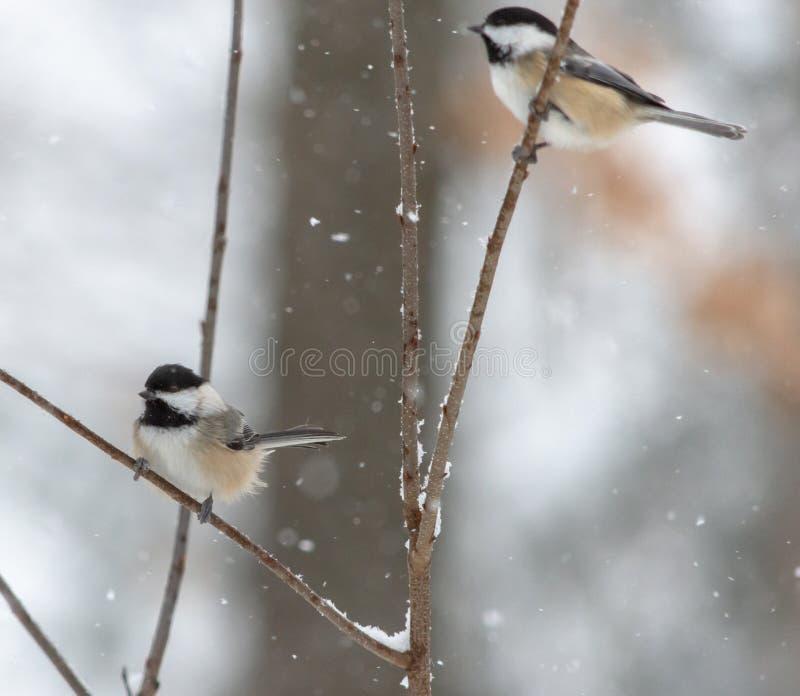Chickadees in Sneeuwstorm op Takjes in hout stock foto