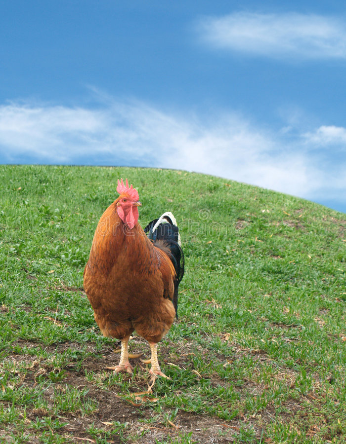 Free Chicken Royalty Free Stock Image - 1935726