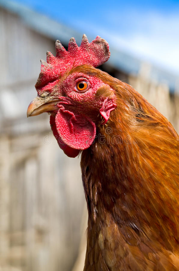 Chicken royalty free stock photos