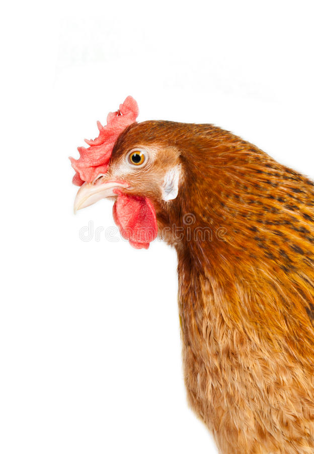 Download Chicken Royalty Free Stock Photos - Image: 24662908