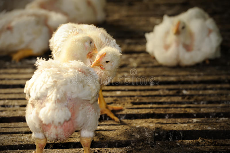 Download Chicken (25 days old) stock photo. Image of breeding - 26807180