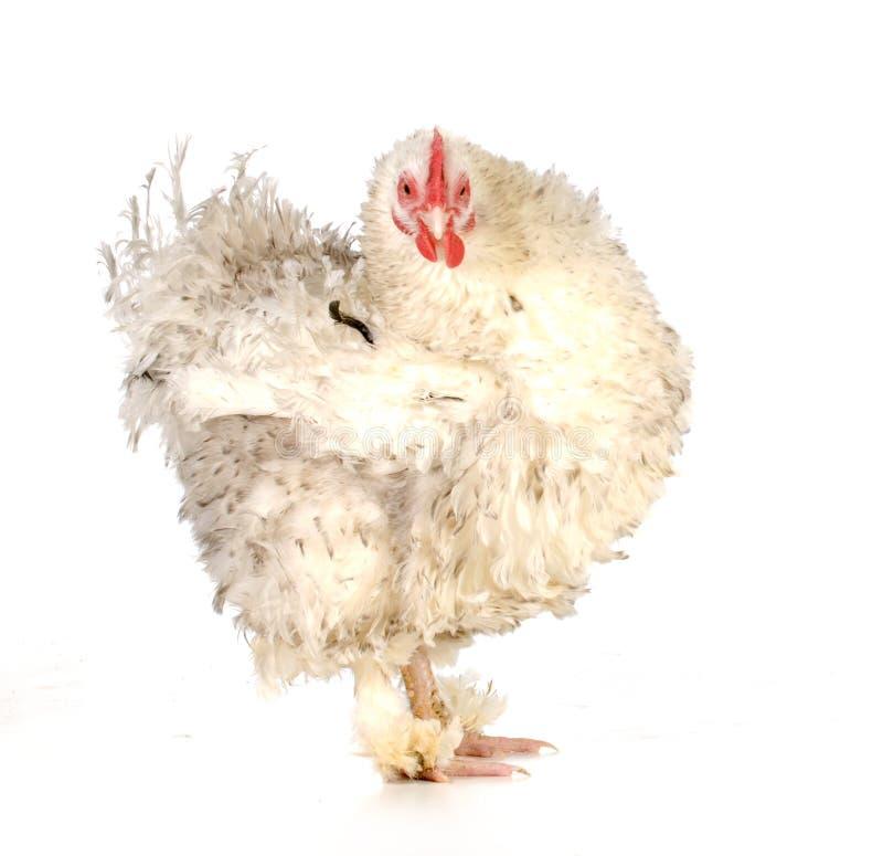 Free Chicken Stock Photos - 36129893