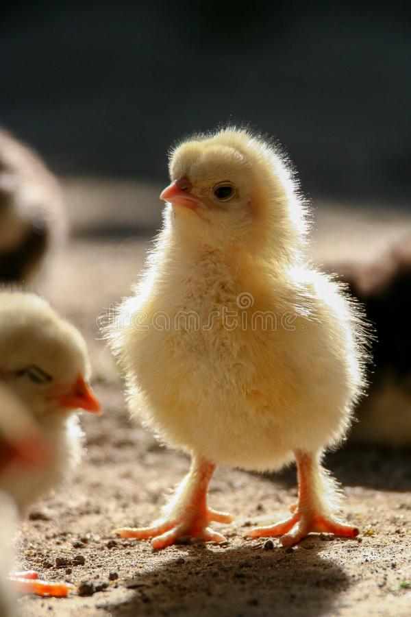 Chicken baby - Chick standing in the light on a farm. Small yellow chick standing in the light. Chicken, hen, pullet with a beautifull back light. This image was stock photo