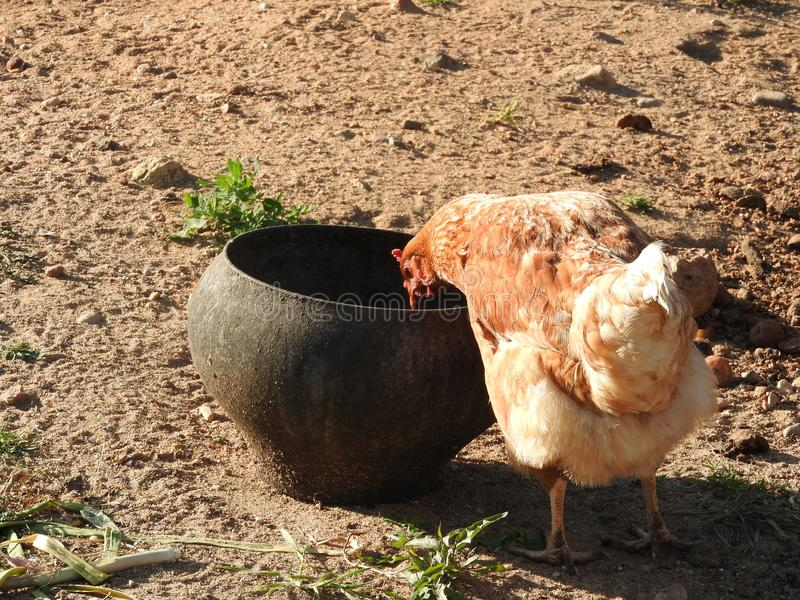 Chicken on a background of rustic natural environment on a summer day royalty free stock images