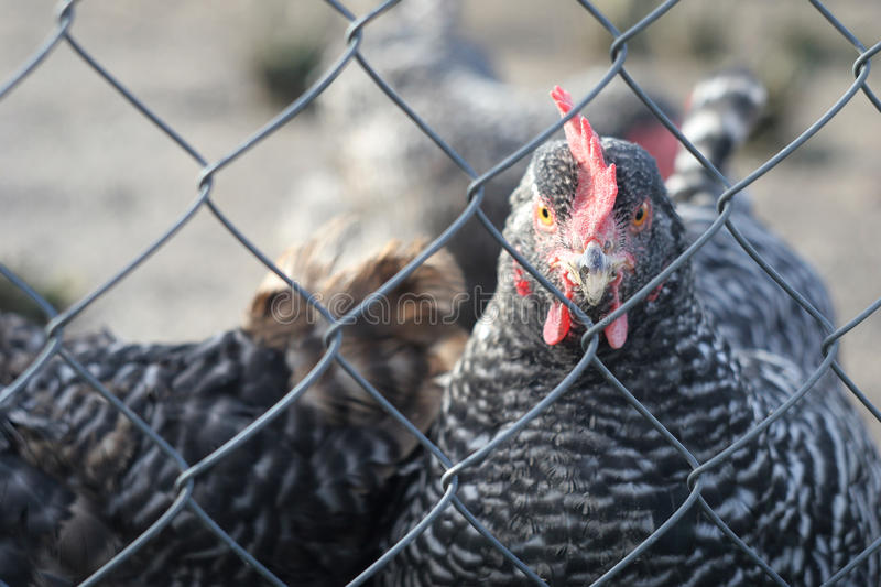 Chicken behind the fence. Grey chicken behind the fence stock image