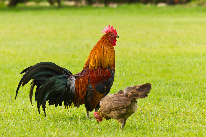 Chicken and royalty free stock image