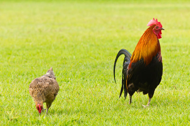 Chicken and royalty free stock photo