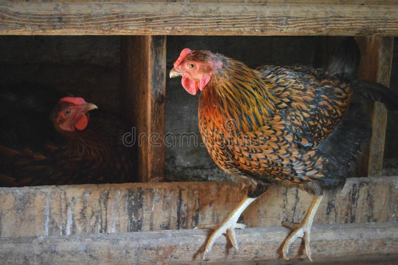 Chicken coop. Two chickens in a chicken coop at Old World Wisconsin royalty free stock photos