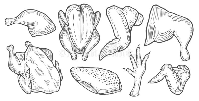 Chicken cuts, hen parts. Hand drawn Chicken cuts, hen parts. Domestic bird meat vector set illustration. Engraving sketch style isolated. Traditional organic stock illustration