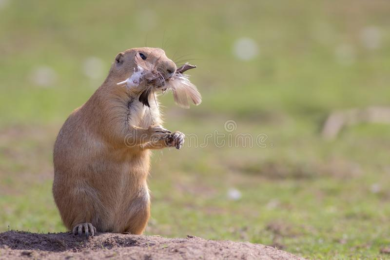 Chicken dinner. Funny animal image of a cute marmot prairie dog royalty free stock photography