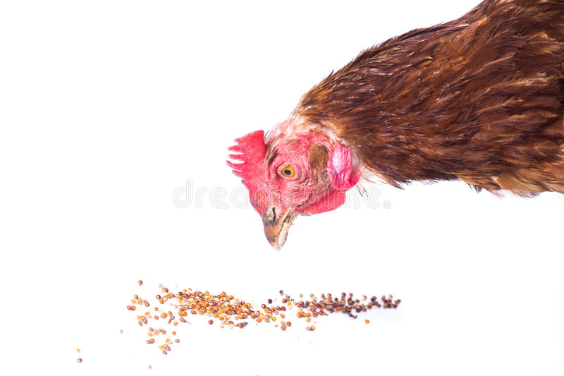 Chicken eating. Isolated on white background royalty free stock images