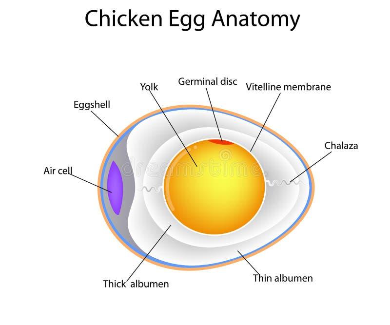 Chicken egg anatomy. Structure of chicken egg anatomy stock illustration