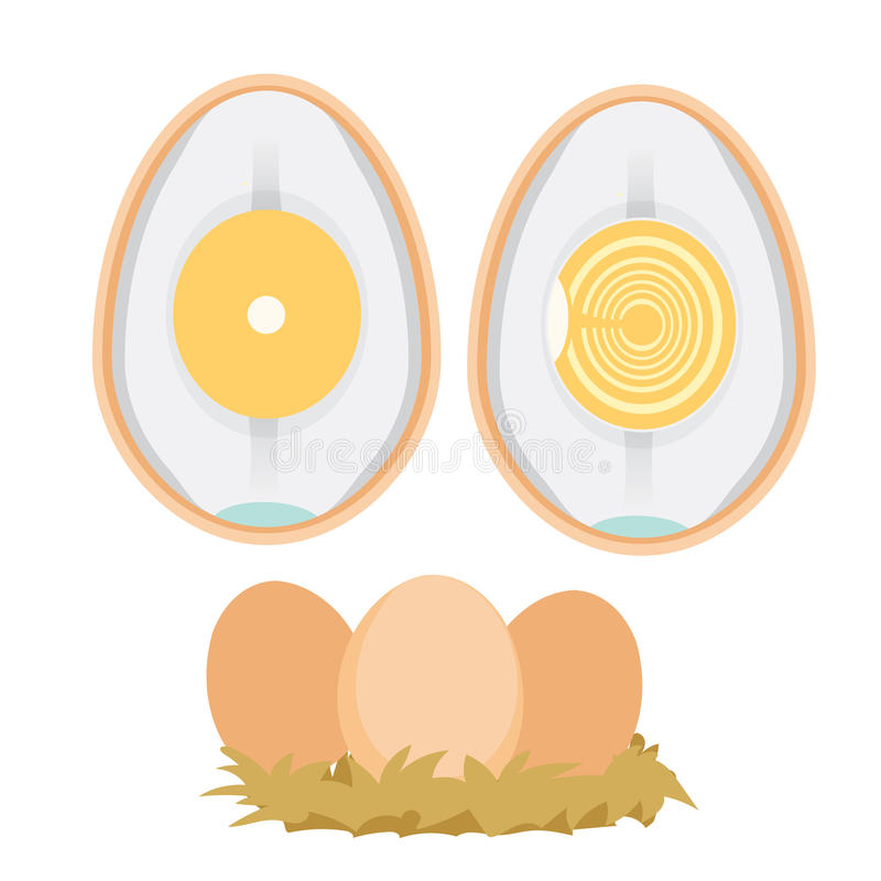 Chicken egg life cycle stock vector. Illustration of embryo - 91629233