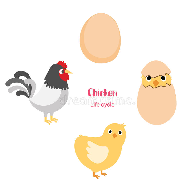Chicken egg life cycle stock vector. Illustration of anatomy - 91629247