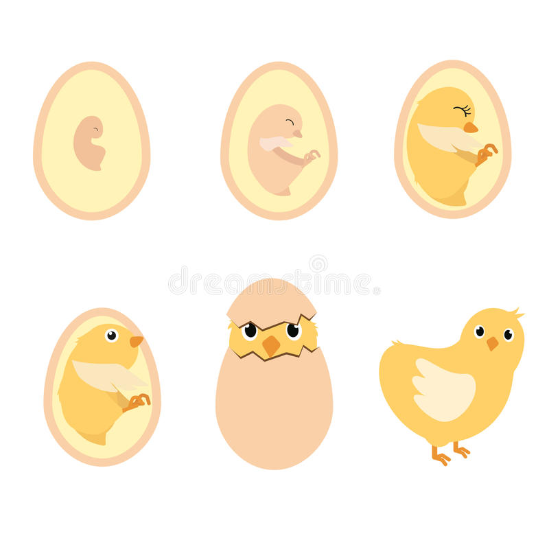 Chicken egg life cycle stock vector. Illustration of illustration ...