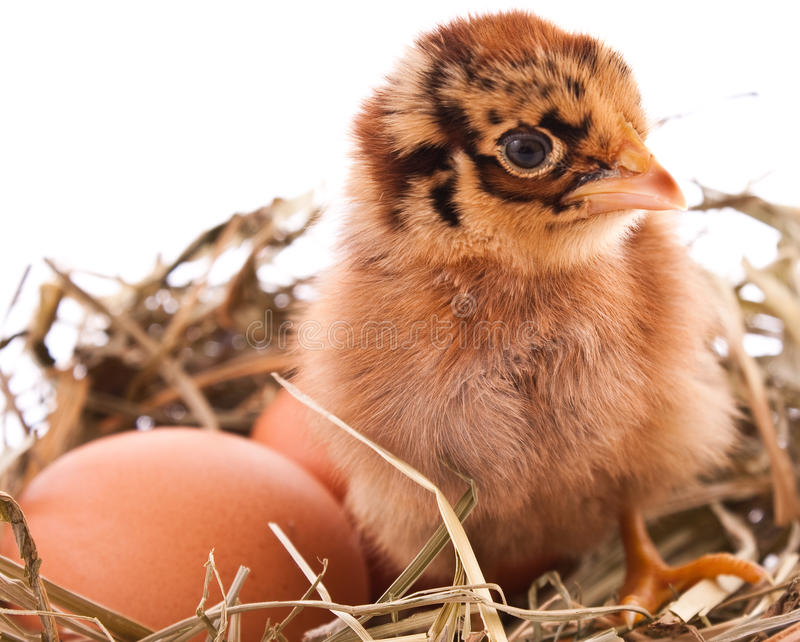 Chicken and egg in nest stock photos