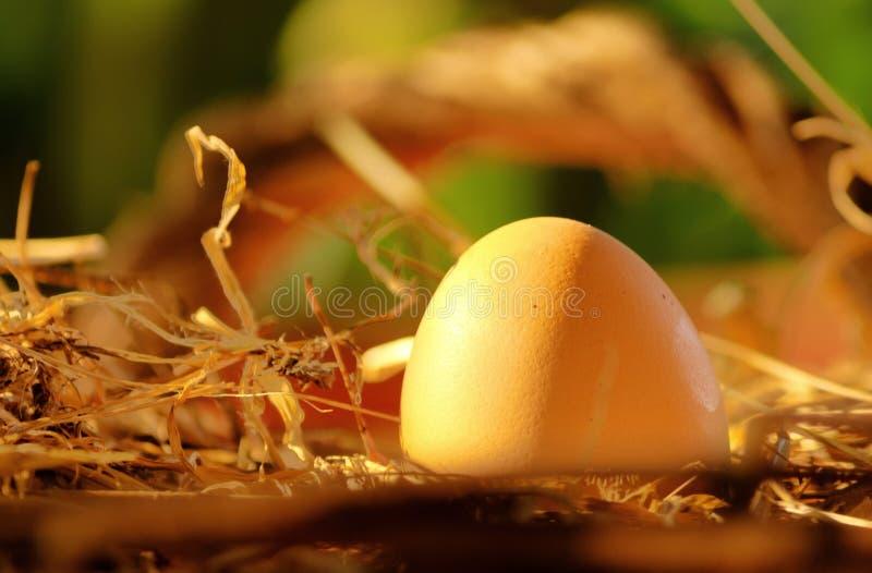 Chicken egg in the nest stock photo