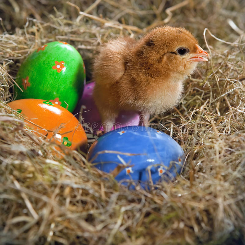 Chicken and eggs stock image