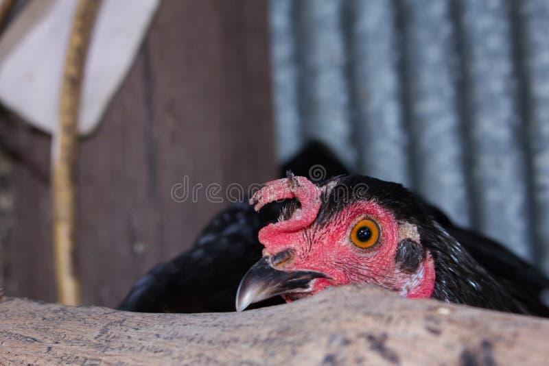 Chicken eye in macro view stock photo