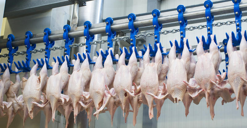 Download The Chicken Factory Stock Photography - Image: 23308452