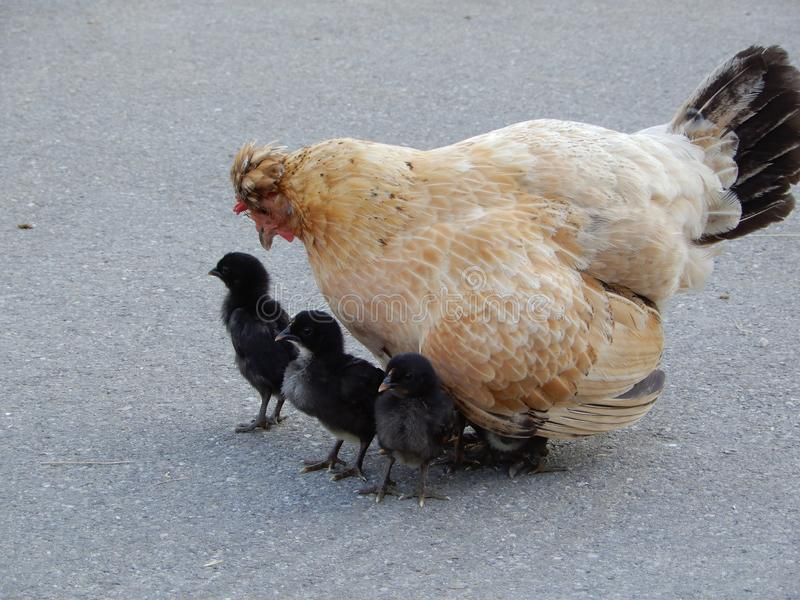 Chicken family with six young ones royalty free stock photos
