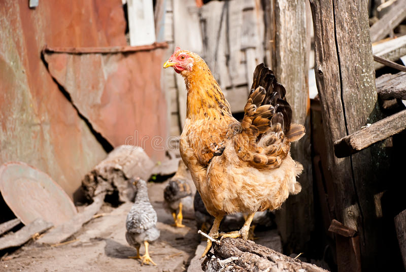 Chicken on a farm stock photo