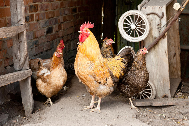 Chicken on a farm stock images