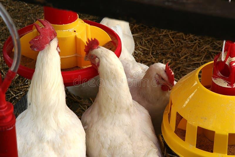 Chicken farm. Detail from the chicken farm