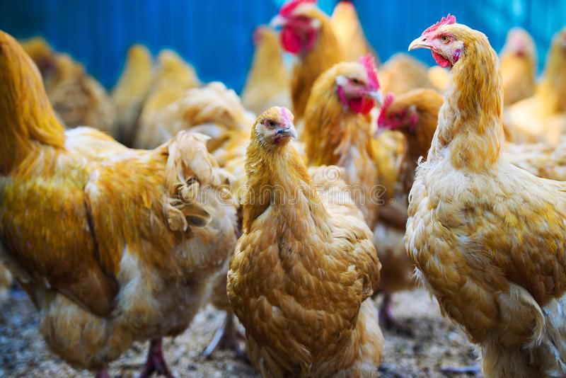 Chicken on a farm. Agriculture, animal, avian, beak, bird, brown, cock, cockerel, comb, crowing, dandelions, environment, farming, farmyard, feathered royalty free stock image