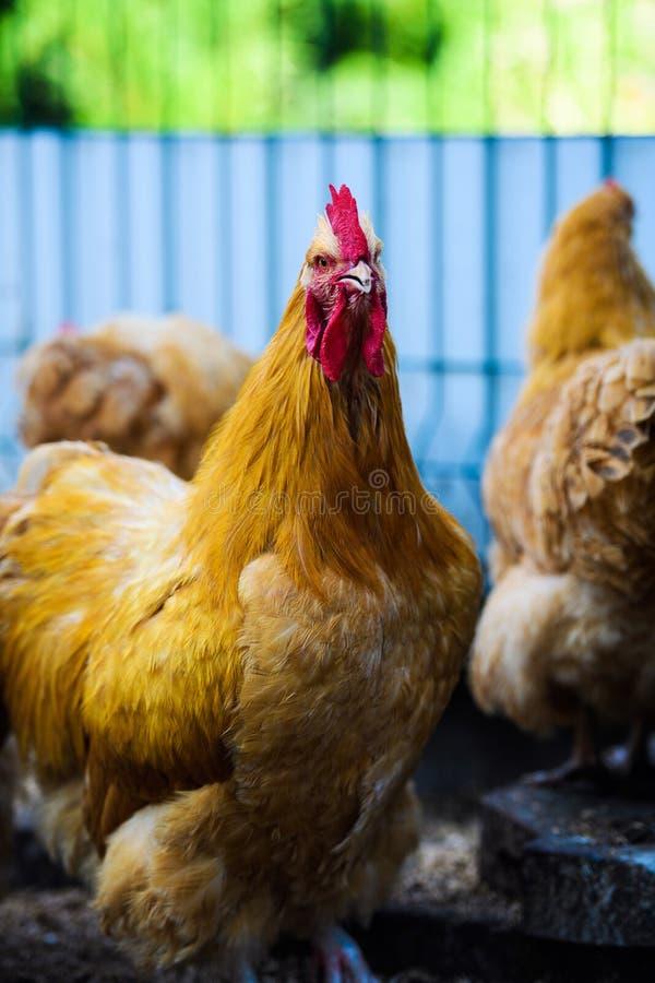 Chicken on a farm. Agriculture, animal, avian, beak, bird, brown, cock, cockerel, comb, crowing, dandelions, environment, farming, farmyard, feathered royalty free stock photography
