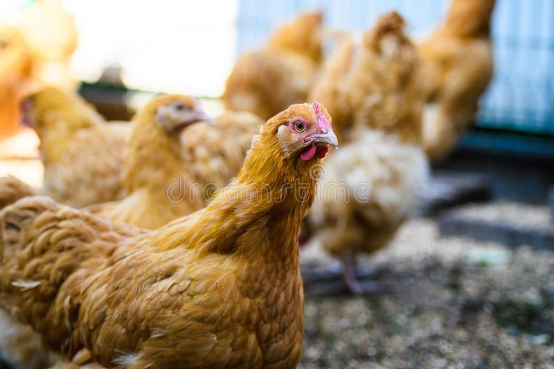 Chicken on a farm. Agriculture, animal, avian, beak, bird, brown, cock, cockerel, comb, crowing, dandelions, environment, farming, farmyard, feathered royalty free stock images