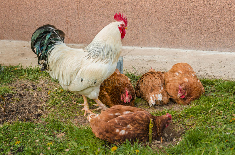 Chicken farm. Chiken eating grass at chicken farm royalty free stock images