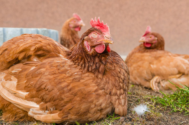 Chicken farm. Chiken sitting on ground at chicken farm stock photography