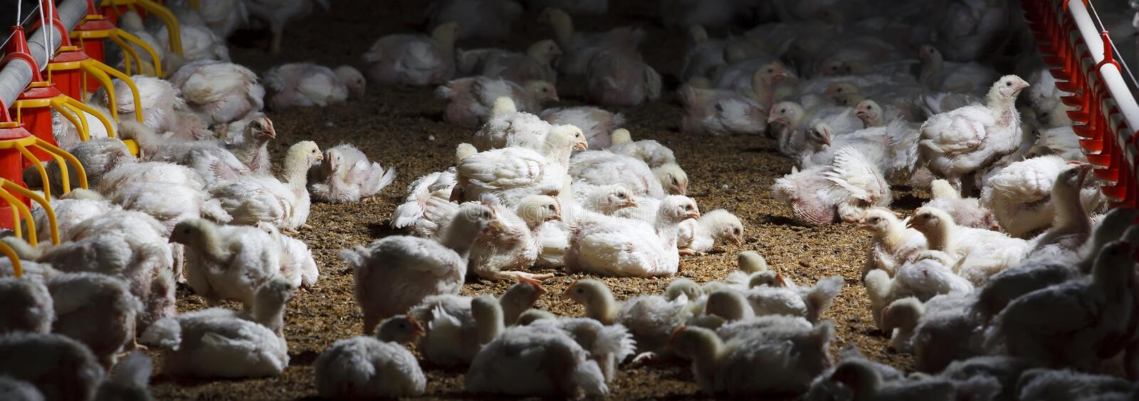chicken farm with feed royalty free stock photo