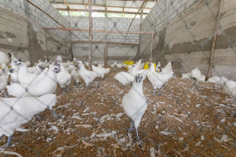 Chicken in farm. Many white chicken in farm royalty free stock images