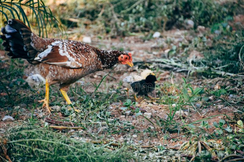A chicken with baby chicks in Vinales, Cuba. A chicken guides her 2 baby chicks to safety in Vinales, Cuba royalty free stock photo