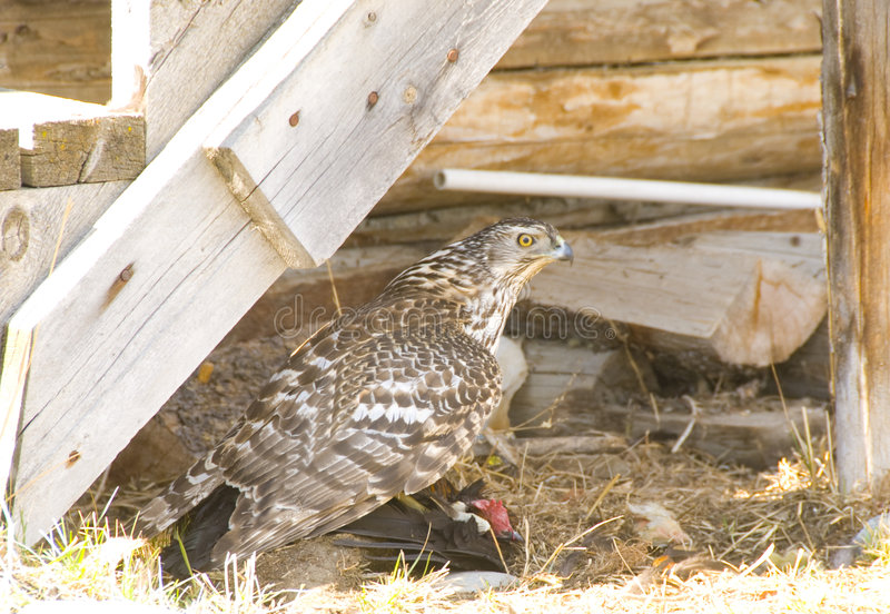 Chicken hawk. Is sitting on his fresh kill royalty free stock photos