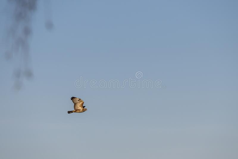 Chicken hawk flying in morning. Chicken hawk also known as ``Accipiter gentilis``flying during bright day royalty free stock images