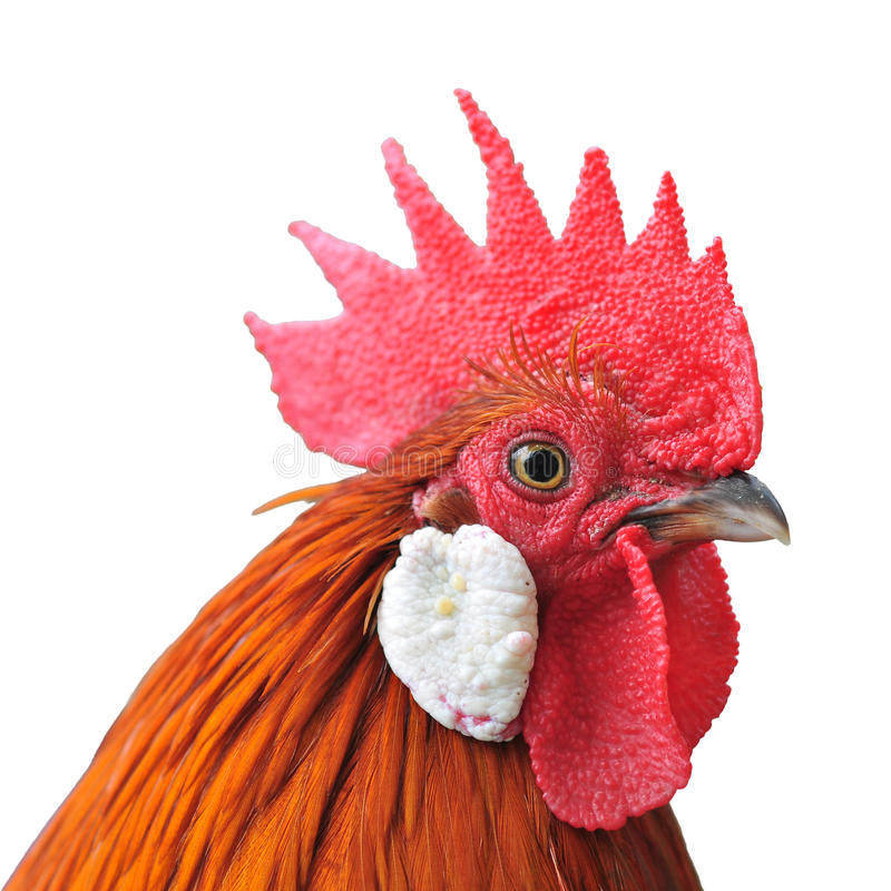 Chicken head stock photo