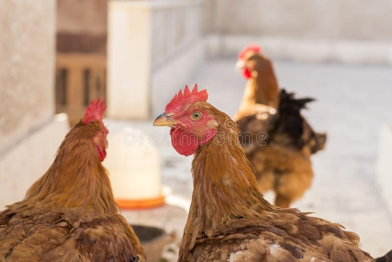 Chicken Head Closeup royalty free stock image