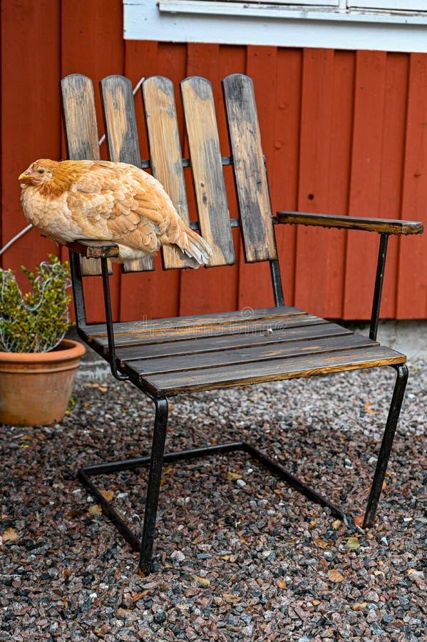 Chicken hen sitting on a garden chair stock photos