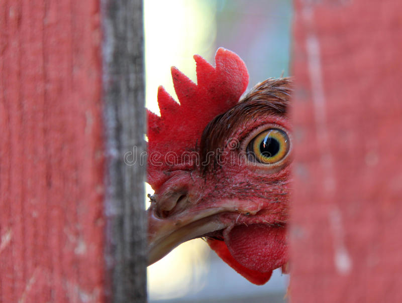 Chicken looking from behind a fence royalty free stock image