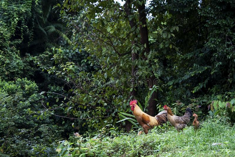 Chicken looking for food at their environment stock photos