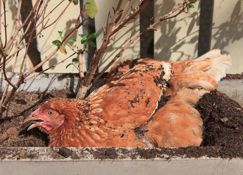 Chicken lying of soil bucket with relaxing time royalty free stock image