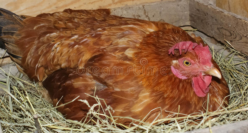The chicken in the nest. Sitting on eggs royalty free stock image